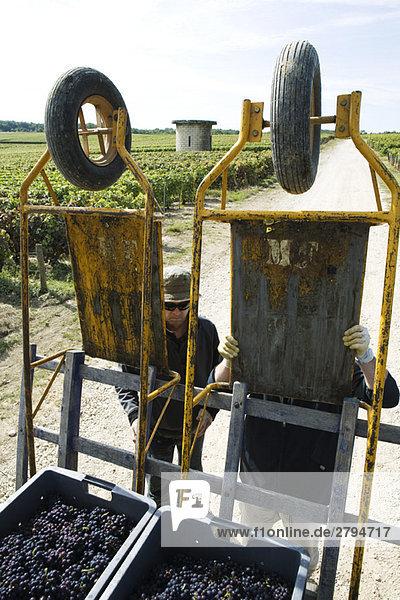 Frankreich  Champagne-Ardenne  Aube  Arbeiter bereiten Trauben für den Transport aus dem Weinberg vor.