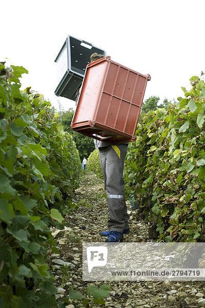 Frankreich  Champagne-Ardenne  Aube  Weinleser mit großen Behältern im Weinberg