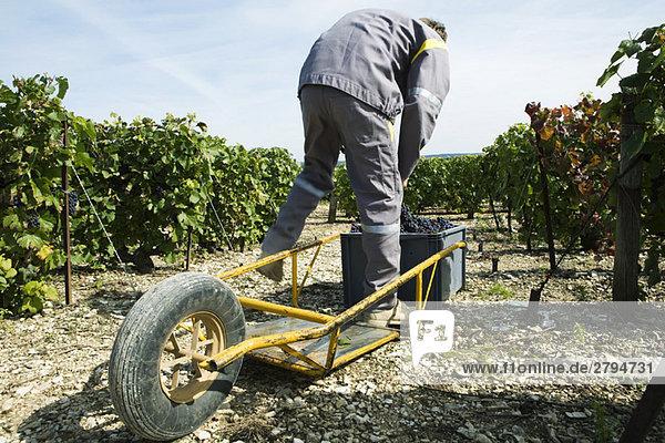 Frankreich  Champagne-Ardenne  Aube  Weinbergarbeiter beim Einsetzen der Trauben in den Kunststoffbehälter  Schubkarre im Vordergrund