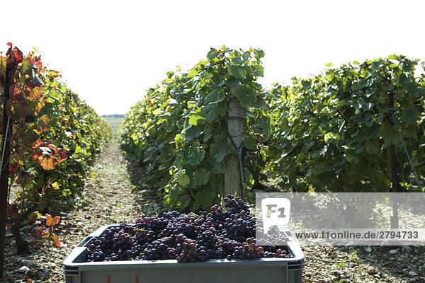 Frankreich  Champagne-Ardenne  Aube  Weinberg  Traubenbehälter im Vordergrund
