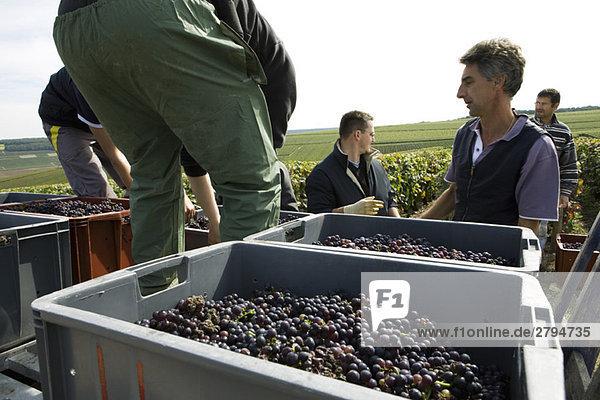 Frankreich,  Champagne-Ardenne,  Aube,  Weinleser beim Verladen der Trauben im Weinberg