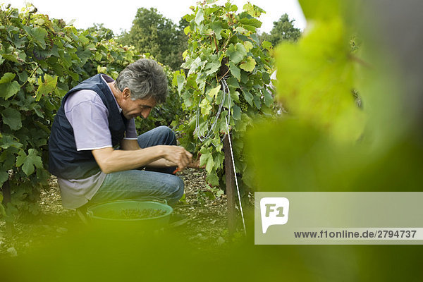 France  Champagne-Ardenne  Aube  worker picking grapes in vineyard