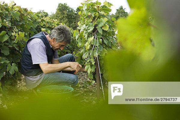 Frankreich  Champagne-Ardenne  Aube  Arbeiter beim Traubenlesen im Weinberg