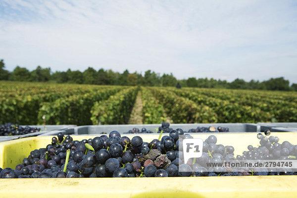 Frankreich  Champagne-Ardenne  Aube  Trauben in Behältern  Weinberg im Hintergrund