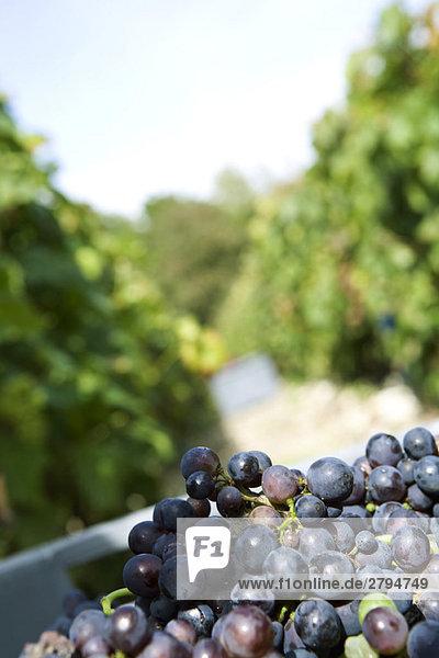 Schwarze Trauben frisch geerntet