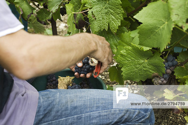 Grape harvester,  cropped view