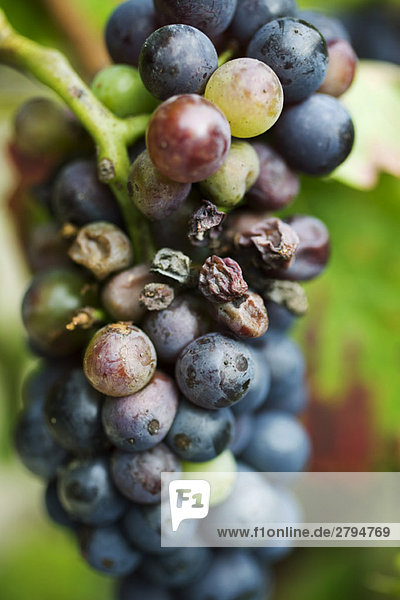 Grapes on vine,  close-up