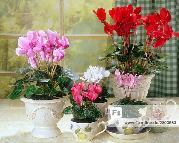 verschiedene Alpenveilchen in Blumentöpfen und Tassen
