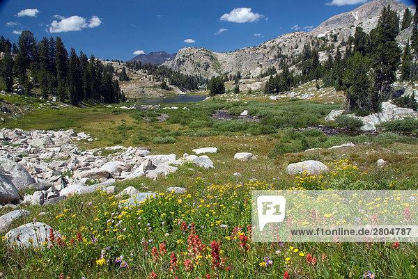 Wildblumen blüht im Feld mit Gebirge im Hintergrund  Wind River Range  Wyoming  USA
