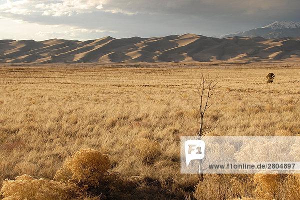Buchsen in der Wüste  Great Sand Dunes National Park  Colorado  USA