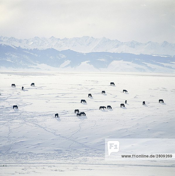 Overlook of horses on snow-covered field