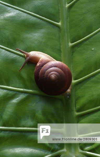 Close up of eine Schnecke auf grünes Blatt  Hainan