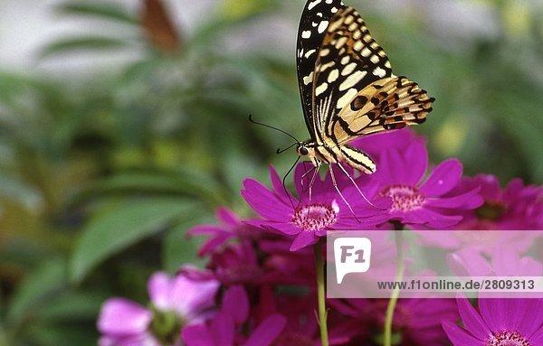 Close up Schmetterlings auf purpurrote Blumen  Beijing