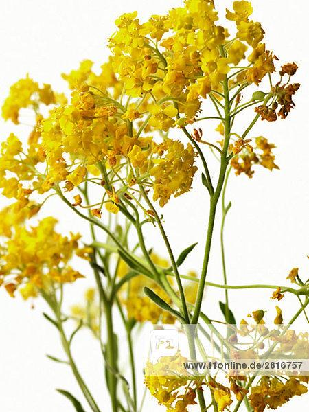 Gelbe Blüten vor weißen Hintergrund.