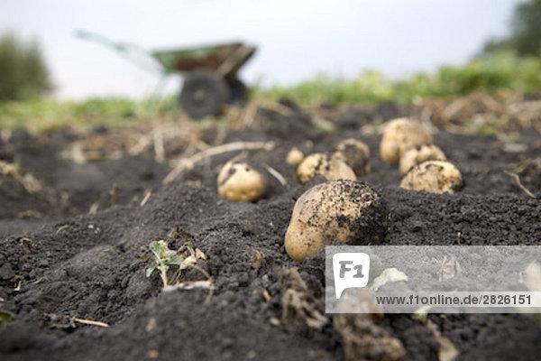 Stillleben mit Dug aus Kartoffeln Stillleben mit Dug aus Kartoffeln