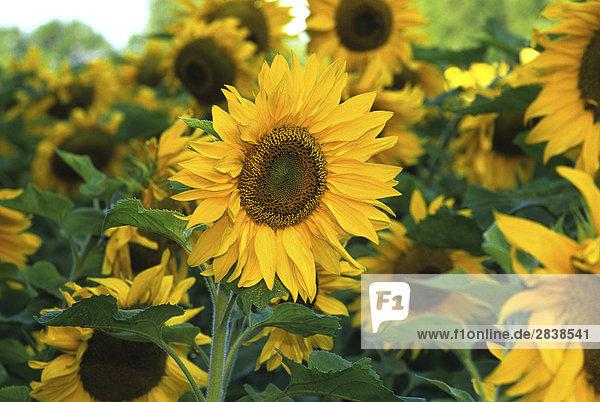 (Helianthus Annuus) Sonnenblumen  Kanada