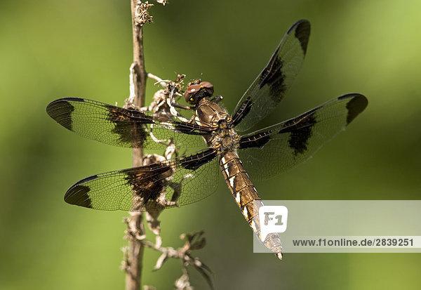 Gemeinsame Whitetail  Kanada