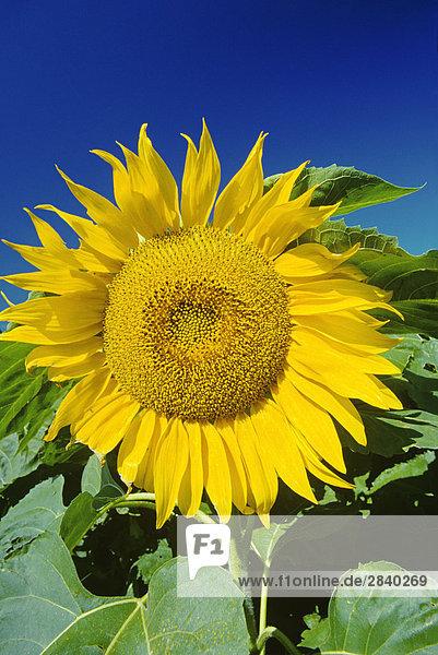 Sonnenblume Blossom  Altona  Manitoba  Kanada.