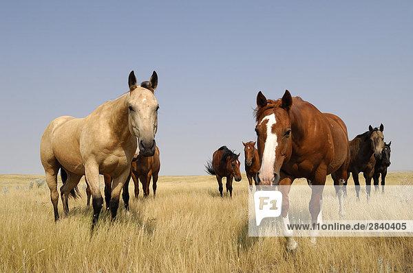 Pferde auf das offene Grasland der Prärie - südliche Saskatchewan  Kanada.