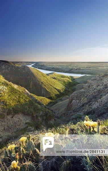Cactus und South Saskatchewan River  The Loop in der Nähe der Mündung  Saskatchewan  Kanada