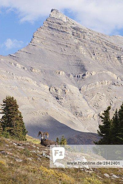 Bighorn Sheep Ram  Wilcox Pass  Banff-Nationalpark  Alberta  Kanada