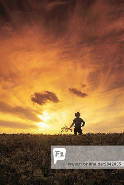 ein Landwirt Suche über sein reifenden Sojabohnen Getreide  in der Nähe von Lorette  Manitoba