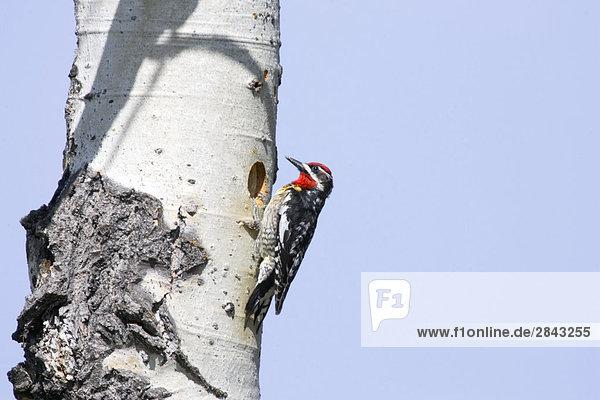 Red-genannt Saftlecker (Sphyrapicus Nuchalis) auf eine aspen Baum  British Columbia  Kanada