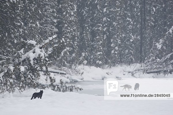 Wild Timber wolves (Canis lupus) on a frozen river in winter in Banff National Park  Alberta  Canada