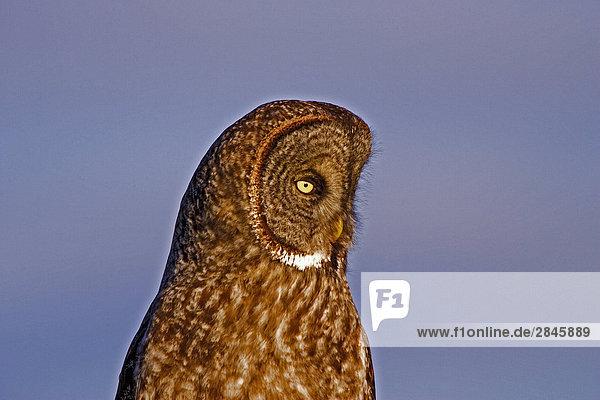 Große Grey Owl  Schafe Junction Bereich  British Columbia  Kanada.