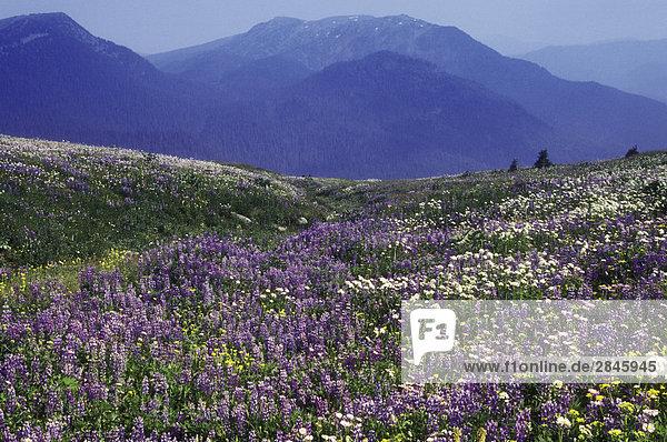 Lupin Alpenblumen  Cariboo Mountains  British Columbia  Kanada.