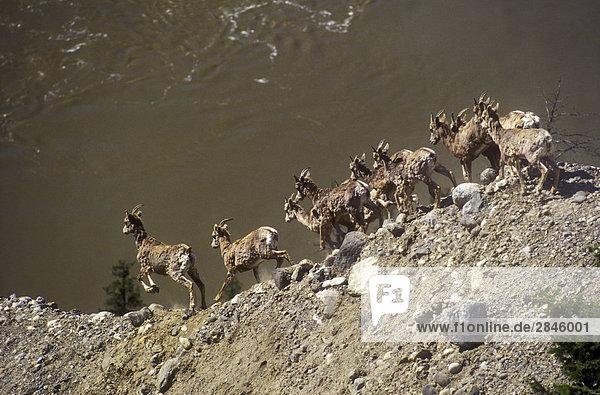 California Big Horn Schafe über den Fraser River  Chilcotin Region  British Columbia  Kanada.