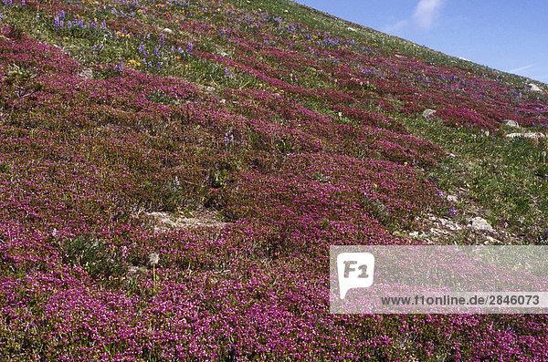Rosa Heidekraut  alpine Blumen  Kartoffel Berge  Chilcotin Region  British Columbia  Kanada.