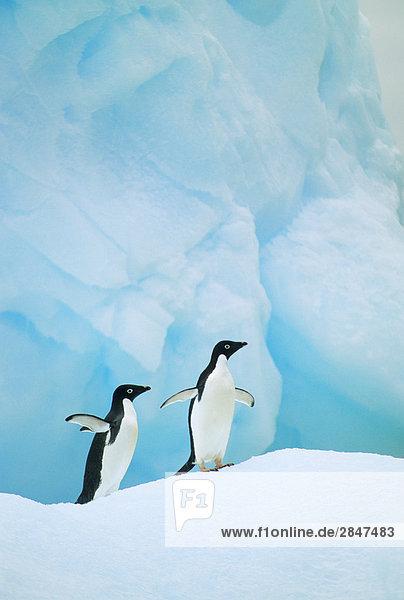Adeliepinguine (Pygoscelis Adelie)  Nichtstun auf einem Stück Gletschereis  der Antarktischen Halbinsel Adeliepinguine (Pygoscelis Adelie), Nichtstun auf einem Stück Gletschereis, der Antarktischen Halbinsel