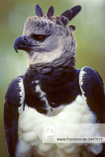 Adult Harpyie Eagle ((Harpia harpyja)  tropische Regenwälder  Brasilien