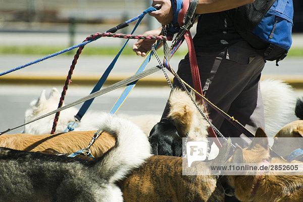Person  die mit mehreren Hunden spazieren geht  Ausschnittansicht