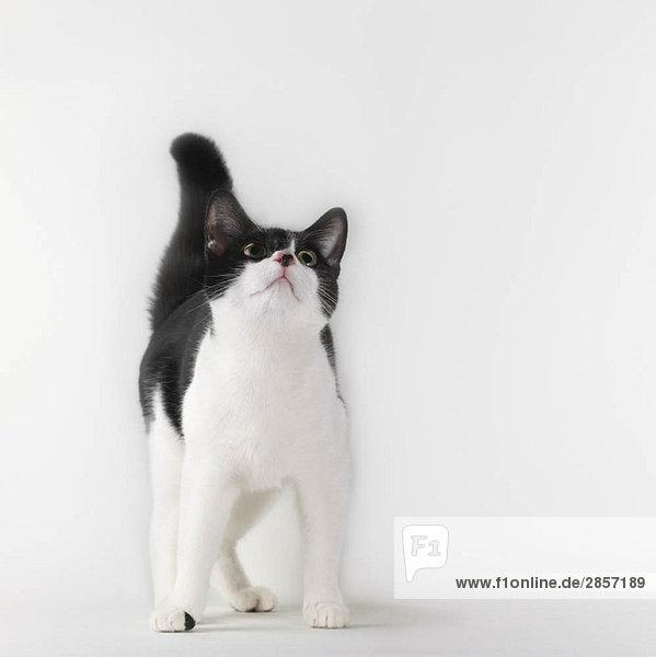 Schwarze und weiße Katze schaut nach oben