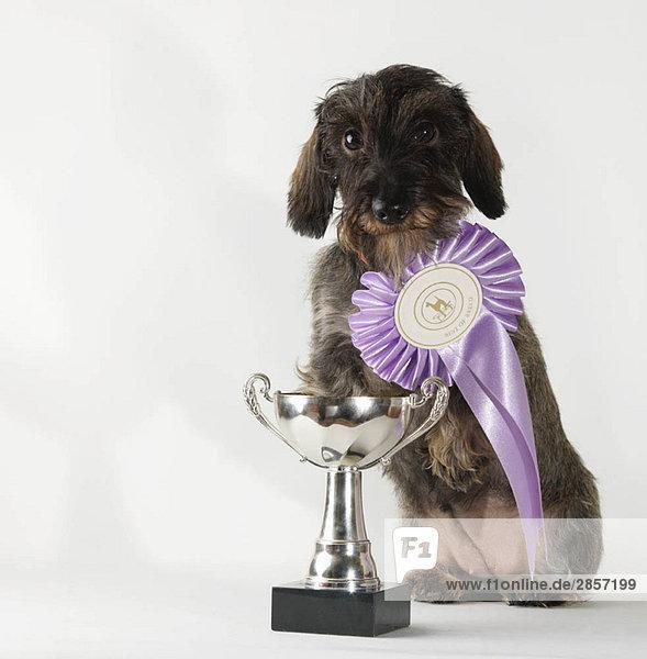 Hund mit Best-in-Breed-Band