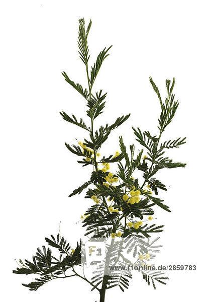 Mimosenstrauß (Mimosa Gaulois Astier)