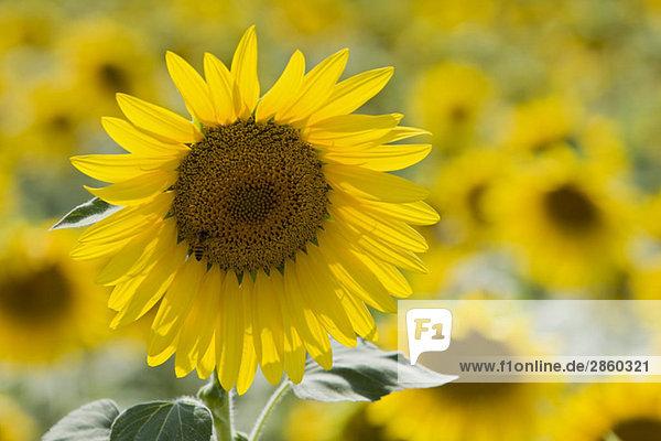 Italy  Tuscany  Sunflowers  close up