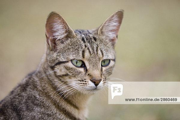 Afrika  Sambia  Katze  Portrait