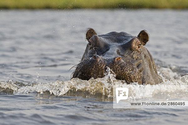 Africa  Botswana  Hippopotamus (Hippopotamus amphibius) in water