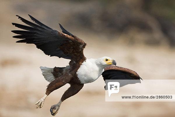 Afrika  Botswana  Afrikanischer Fischadler (Haliaeetus vocifer) im Flug