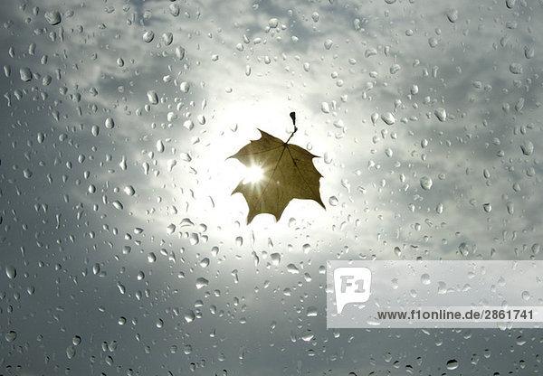 Ahornblatt auf Fensterscheibe bei Regen