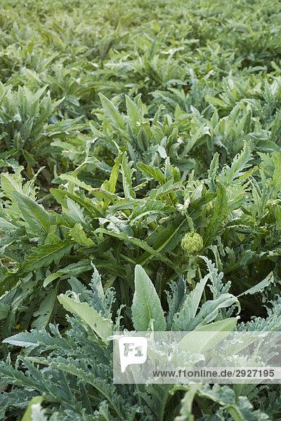 Gespeichert von Artischockenpflanzen  die wachsen