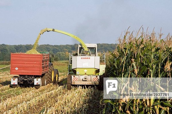 Fodder maize harvest Transferring chaffed maize plants from harvester to truck Schleswig-Holstein Germany