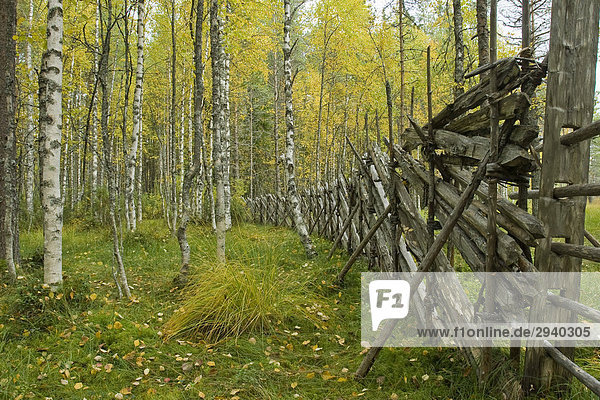 Reindeer fence  Birch trees (Betula) during autumn  Tiilikkajaervi National Park  Finland  Europe