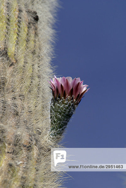 Cactus flower (Trichocereus pasacana bzw. Echinopsis atacamensis)