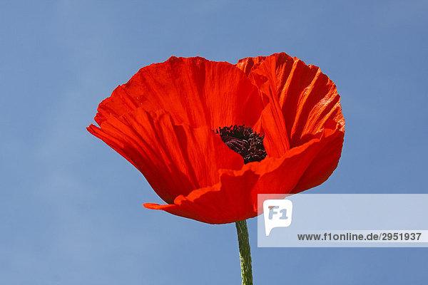 Blühender Türkenmohn  Türkischer Mohn (Papaver orientale)  rote Mohnblüte und blauer Himmel
