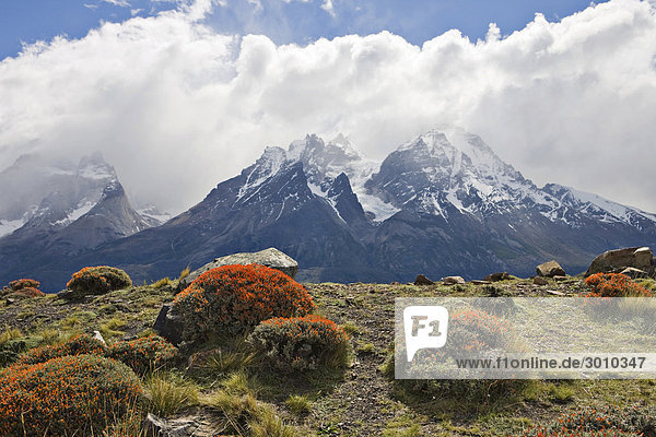 Fire Tongue or Scarlet Gorse (Anarthrophyllum desideratum) with Torres del Paine Range in the background  Torres del Paine National Park  Patagonia  Chile  South America
