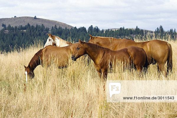 Pferde  Oregon  USA